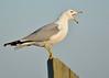 Sea-gull @ Sunset (Tyr-Sog) Tags: bird michigan seagull nikon300mmf4 fbdg nikond7000