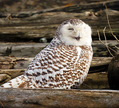 Snowy Owl: Hi! (TOTORORO.RORO) Tags: park winter canada reflection bird nature smile lens mirror reflex bc britishcolumbia wildlife sony delta translucent hi marsh boundarybay alpha blink 500mm wink f8 slt wetland snowyowl greatervancouver a55 buboscandiacus sal500f80 highqualityanimals