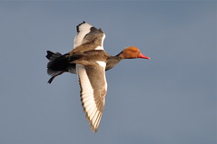 red-crested pochard in flight II (MiriamW77) Tags: redcrestedpochard nettarufina kolbenente