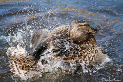 Mallard bathing (AlexanderArntsen now over 400.000 views) Tags: sea lake bird nature water birds closeup canon landscape outdoors eos spring amazing waterdrop flickr moments sweden outdoor ngc natur feathers feather waters mallard nordic sverige waterdrops vatten soe sparkling lanscape seabird springtime autofocus fgel 70300 coulorful flickrs sigma70300 supershot thegalaxy natureswonder waterpearl flickraward naturemasterclass 1000d eos1000d flickraward5 mygearandme mygearandmepremium mygearandmebronze natureskingdom blinkagain allnaturesparadise bestofblinkwinners blinksuperstars alexanderarntsen photobyarntsen