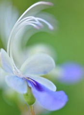 Sweet Blue Butterfly....... (Anna Kwa) Tags: macro art singapore loveit thegalaxy blueglorybower hortpark colorphotoaward clerodendrummyricoides panoramafotográfico panoramafotográfico bluebutterflybushflowers