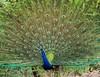 peacock .... (Raghuvir solanki) Tags: allofnatureswildlifelevel2 allofnatureswildlifelevel3 allofnatureswildlifelevel4