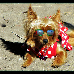 Summertime (Trish Hamme) Tags: dog hot sunglasses puppy summertime bella yorkshireterrier ribbet