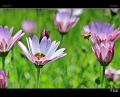Pollination III (tomraven) Tags: flowers light macro bokeh bees magic bee fujifilm myth pollination megapixels 3megapixel 3mp goldenbee s1pro fbdg tomraven aravenimage flickrstruereflection1 q32012