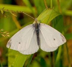 IMG_0080 Small White Butterfly (Pieris rapae), Attleborough Fields, Nuneaton, Warwickshire 13June12 (Lathers) Tags: warwickshire nuneaton pierisrapae smallwhitebutterfly canon7d canonef100f28lisusm attleboroughfields