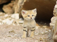 Bb chat des sables 1 mois n le 18/05/2012 (home77_Pascale) Tags: animal chat bb flin parcdesflins nesles chatdessables chatdudsert naissance2012
