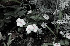 Catharanthus roseus (Oxygen_JP) Tags: street flower cute green japan leaf sigma foveon dp1 roseus catharanthus