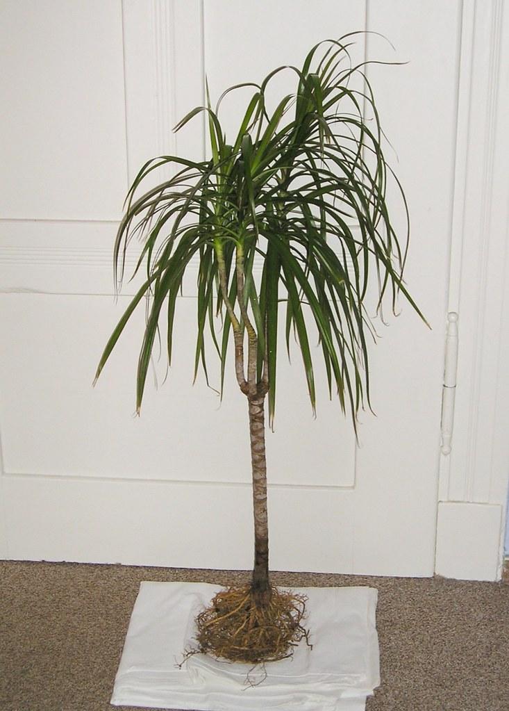Dracaena marginata  Plant Finder