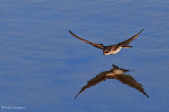 Swallow Reflection (Beth Sargent) Tags: california cliff lake reflection bird nature fly mud small flight feed swallow swoop hunt osoflaco