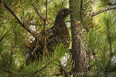 "Spruce Grouse • <a style=""font-size:0.8em;"" href=""http://www.flickr.com/photos/63501323@N07/7557860324/"" target=""_blank"">View on Flickr</a>"