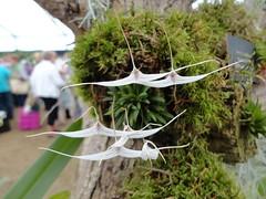 Trisitella hoeijeri (c.young) Tags: orchidaceae hamptoncourt flowershow 2012 rhs hoeijeri rhshamptoncourtflowershow rhshamptoncourt trisitellahoeijeri trisitella