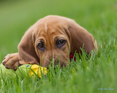 Stay as Sweet as You Are (Jim Frazee) Tags: polly bloodhound coth supershot searchdog bej wwwsouthwestsearchdogsorg coth5 sunrays5