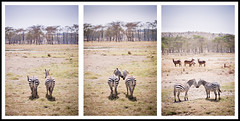 A Love Story (*rainbowgirl*) Tags: africa wild animals nationalpark kenya national wilderness lovestory geographic zebras afrka lakenakuru dr st heimsreisa sebrahestar starsaga