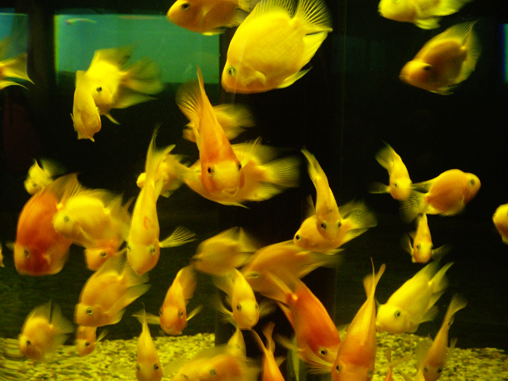 Aquarium fish tank cyprus - Fish Tank Tnoskoguy Tags Ocean Pets Fish Water Animals Gold Aquarium Photo Eyes