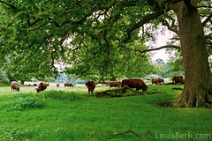 Red Cows, Green Grass, Oak Tree (louisberk) Tags: red england tree green grass leaves oak fuji cows kodak branches surrey portra middlesex carta grazing runnymede magna 160 gsw690iii gupr coopershillslopes