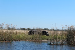 On the Delta (Mike Barish) Tags: safari hippo hippopotamus botswana okavangodelta selinda selindacamp greatplainsconservation