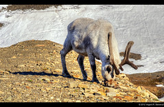 Svalbard reindeer (vegarste) Tags: animal norway reindeer norge nikon europe eating norwegen svalbard arctic polar rein barren hdr grazing spitsbergen dyr spiser longyearbyen reinsdyr d90 3xp photomatix arktis tonemapping 3exp gresser rangifer tarandus platyrhynchus karrig