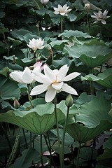 Lotus/ water lily (boywu1985) Tags: china plant flower nature waterlily lotus