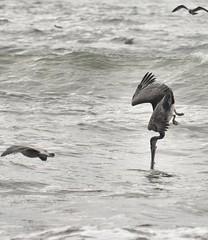 Pelican going in (Frank O Cone) Tags: ocean fishing diving pelican wa oceanshores
