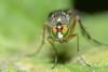 Fly @ Hilde's garden (stormchaseroosteeklo) Tags: macro closeup insect fly eyes focus colorful flash extreme ogen facets facet dolichopodid dolichopodidae roofvlieg macrolife d3100 slankpootvlieg me2youphotographylevel1 unlimitedinsectslevel1 unlimitedinsectslevel2