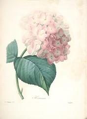 Anglų lietuvių žodynas. Žodis hydrangea macrophylla hortensis reiškia <li>hydrangea macrophylla hortensis</li> lietuviškai.
