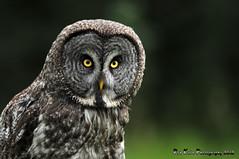 Great Gray Owl DSC_6759 (Ron Kube Photography) Tags: canada bird nature birds fauna nikon alberta owl greatgrayowl ornithology owls greatgray strixnebulosa southernalberta d300s globalbirdtrekkers ronaldok nikond300s ronkubephotography