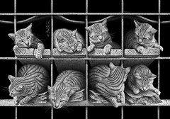Octet (Ben Heine) Tags: wood city family friends light wild urban blackandwhite streetart cute art texture abandoned love portugal nature look lines animal bar composition contrast cat portraits canon square fur photography photo paw eyes feline chat babies friendship brothers drawing sleep lisbon stripes group citylife kitty kingdom ears kittens moustache photoediting rest balance brotherhood companion poil rare eight kot rhythm bois pattes planche regard rayure fourrure mignon barreau urbain chaton sauvage octet oreilles photoretouching planch graytones benheine 5dmarkii