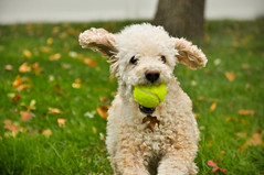 poodle in action (edachen85) Tags: ball run poodle mouthful doginaction