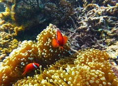 Hi there! (Nana* <salala817>) Tags: ocean sea fish island scuba diving clownfish okinawa  tokashiki