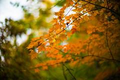 Autumn Notes (moaan) Tags: life leica autumn color digital 50mm glow dof bokeh f10 momiji japanesemaple utata aomori glowing noctilux tinted 2012  m9 tinged yagen colorsofautumn autumnaltints inlife leicanoctilux50mmf10 leicam9