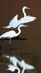 White Egrets In The Light. (Tom Stanley Janca) Tags: egrets gilbertriparianpreserve texured tomstanleyjanca jancasartphoto