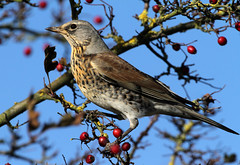 Fieldfare (DavidAlan48) Tags: composition ul thegalaxy mygearandme mygearandmepremium mygearandmebronze mygearandmesilver