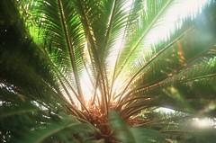 (cheronika) Tags: light color colour tree green film leaves 35mm heart slide palm velvia greenhouse tropic botanic positive zenit botanicgarden medulla core helios colorfilm positivefilm subtropic