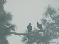 Vultures in the Morning Fog (royalpalmtree) Tags: bird animal wildlife vulture