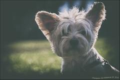 "Mon ""Clebs"" !!! (Alcosinus   ON-OFF ) Tags: york portrait dog chien bokeh nikond90 alcosinus"