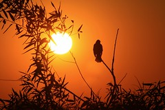 Day's End [explored] (PelicanPete) Tags: light sunset sky orange usa bird nature beautiful beauty silhouette skyscape landscape interesting singing unitedstates natural florida outdoor dusk wildlife scenic grackle calm spotlight explore national serene boattailedgrackle 147 floridaeverglades refuge southflorida songbird sawgrass naturephotography birdonastick loxahatchee takeabow daysend landscapephotography explored riverofgrass sunsetphotography diamondclassphotographer flickrdiamond launcharea palmbeachcountyfl quartasunsetgroup aviancapture dmslair groupcoverphoto may2016 artisticsunsetphotography bestposition1475616 nicknameswamprat singinginthelight quartasunset324 exp312