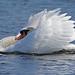Mute Swan Displaying