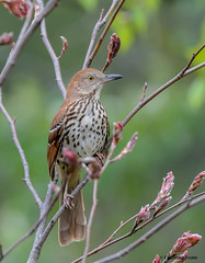 Brown Thrasher (Summerside90) Tags: ontario canada nature birds garden spring backyard wildlife may birdwatcher brownthrasher
