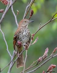 Brown Thrasher (Summerside90) Tags: ontario canada nature birds garden spring backyard wildlife may birdwatcher brownthrasher