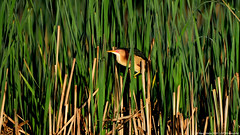 Male Least Bittern (Ixobrychus exilis) (Steve Arena) Tags: male bird birds massachusetts marsh volunteer concord usfws 2016 leastbittern middlesexcounty upperpool ixobrychusexilis lebi marshbird marshbirds gmnwr concordimpoundments marshbirdsurvey marshbirding