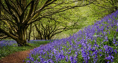 Woodhall Dean Bluebells (Will Gell) Tags: wild bluebells scotland nikon dean sigma east will lothian woodhall gell spott 1770mm d7000