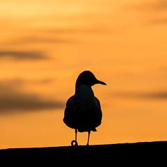 Blackheaded Gull at Seahouses (Briantc) Tags: england gull gulls northumberland blackheadedgull seahouses blackheaded