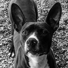 Dakota24Apr1600038-Edit.jpg (fredstrobel) Tags: atlanta blackandwhite usa pets dogs animals ga places phototype pawsdogs pawsatanta