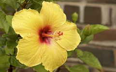 Singing in the rain! (Pejasar) Tags: hibiscus yellow bloom blossom rain wet drops weather sing shine bright garden tulsa oklahoma