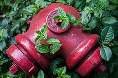 (146/366) Red and Green (CarusoPhoto) Tags: red green nature hydrant 35mm project john fire photo leaf al day pentax foliage manmade greenery 365 everyday caruso leafs smc mundane banal ordinary ks2 f24 366 pentaxda carusophoto