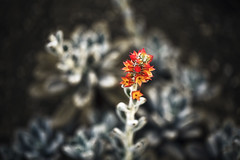 Like Fire (majestiele.co.uk) Tags: orange plant flower colour macro yellow fire dof bokeh gradient shallow