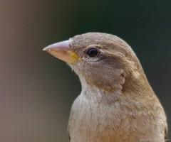 female house sparrow (1) (Simon Dell Photography) Tags: uk england simon nature birds photography pentax photos wildlife sheffield may sigma apo dell xxx dg 2016 k50 s12 hsm hackenthorpe 150500mm
