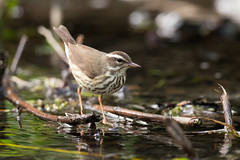 Louisiana Waterthrush (Thomas Cantwell) Tags: park new york bird louisiana central warbler waterthrush