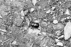 Waldmistkfer (JBsLightAndShadow) Tags: trees mountain monochrome berg forest bug insect nikon hiking sigma heidelberg wald insekt wandern kfer knigstuhl schwarzweis d3300