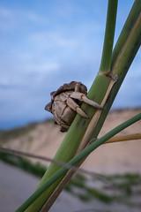 Hermit crab on dune plant (--Welby--) Tags: ocean sea beach coast sand dunes crab australia cable western kimberley crustacean hermit broome